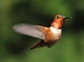 Hummingbird - Wikipedia, the free encyclopedia