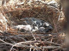 Roadrunner Nestlings Greater Roadrunner, State Birds, Road Runner, Nests, North America, Arizona, Friends, Flowers, Animals
