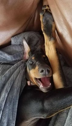 The Doberman Pinscher is among the most popular breed of dogs in the world. Known for its intelligence and loyalty, the Pinscher is both a police- favorite Akita, Canis Lupus, Doberman Pinscher Dog, Doberman Love, Most Beautiful Dogs, Miniature Pinscher, Cool Pets, Working Dogs, Dog Life