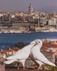 Seagulls of Istanbul Jeff The Killer, Animal Original, Dove Pigeon, Republic Of Turkey, Zoology, Cute Creatures, Asia Travel, Nature Photos, Beautiful Birds