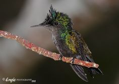 Zumbadorcito Crestado (Macho) - Antillean Crested Hummingbird - Orthorhyncus cristatus