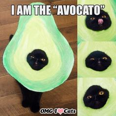 Swiggity swagdo this cats an avocado funny pics, funny gifs, funny videos, funny memes, funny jokes. LOL Pics app is for iOS, Android, iPhone, iPod, iPad, Tablet