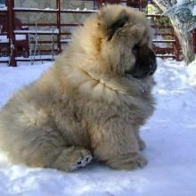 oh my god so much cuteness I just want to hug it (Caucasian Shepherd dog) cutest thing EVER Mastiff Breeds, Mastiff Dogs, Giant Dog Breeds, Giant Dogs, Tibetan Mountain Dog, Caucasian Mountain Dogs, Funny Dog Videos, Funny Dogs, Akita