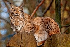 Two lynxes II | A variation of the last picture, I also like… | Flickr