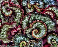 Begonias, the most mathematical houseplants