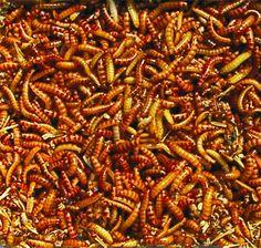 Buffalowürmer - der gesunde Snack für Reptilien