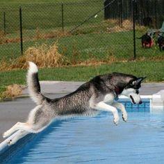 """Paw""ty in the pool Siberian Husky."