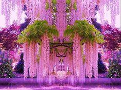 Purple Wisteria in Japan