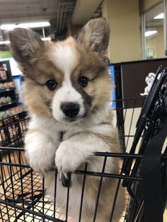 Bernie's first trip to petco Cute Corgi Puppy, Corgi Dog, Baby Corgi, Puppy Dog Eyes, Cute Baby Dogs, Cute Dogs And Puppies, Lab Puppies, Baby Animals Pictures, Cute Animal Pictures