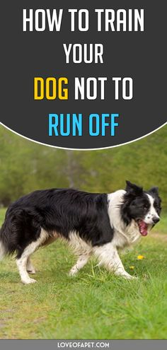 How to Train Your Dog Not to Run Off. Training your dog not to run away is going to be hard and challenging. So if you're wondering what you can do to stop it, then you've come to the right place. Pomeranian, Yorkie, Dog Jokes, Support Dog, Cute Funny Dogs, Training Your Puppy, Funny Dog Videos, Dog Years, Dog Runs