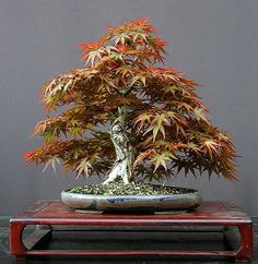 Maple (damn, this is gorgeous!)