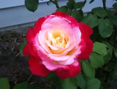 Double Delight, red and white Hybrid Tea, USA 1977. Red and white with red…