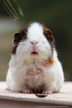 guinea pig - this one feels so stupid - totally laughable - almost cute