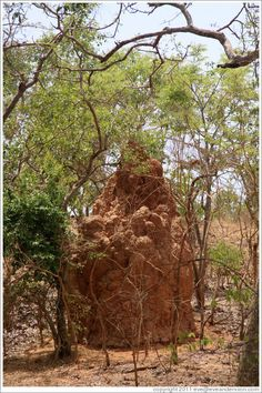 Large ant hill. River Gambia National Park, The Gambia..... I will die on spot if I see this