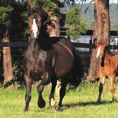 Eireann Grania RID (imp NZ)  Registered Irish Draught (purebred)