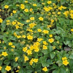 Waldsteinia ternata, in het Nederlands ook goudaarbei genoemd, is een wintergroene vaste plant met een kruipende, bodembedekkende habitus en donkergroene, drielobbige, getande bladeren. Deze goudaarbei bloeit van april tot juni met schotelvormige, goudgele bloemen en houdt van een standplaats in de halfschaduw of schaduw met een goed doorlaatbare, humusrijke bodem. Waldsteinia ternata is zeer goed winterhard, redelijk droogtetolerant en heeft een mooie roodbruine herfstkleur.