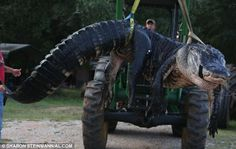 Alligators are the only dangerous-game species that can legally be hunted in Alabama