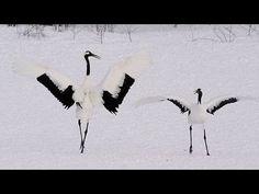 タンチョウの舞い Japanese Crane Dance ( Shot on RED EPIC High-speed )