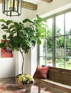 Ficus Lyrata - 'Fiddle Leaf Fig' Tree - Houseplant