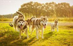 Magic dogs #cute #pet #animal #dog #chien #pup #puppy #chiot #siberian #husky