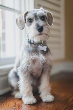 schnauzer puppy cut - Google Search