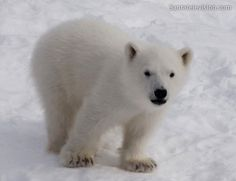 Polar bear cub of Ranua Zoo in Lapland: five months old. More information: www.ranuazoo.com