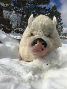 frosty piggie