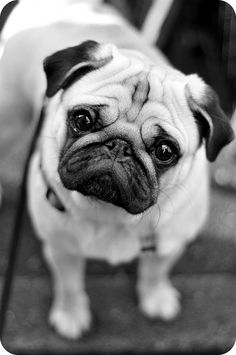 Pug Luv.. Yes I LOVE pugs!