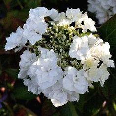 Hydrangéa Macrophylla Coco