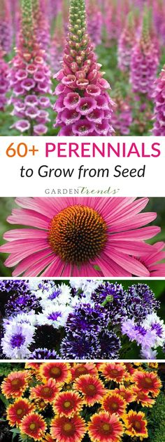 Perennials are playing an increasing role in ornamentals production and in the home garden and landscape decorating. Greater emphasis is being placed on perennials that will flower first year from seed, and on those with faster finishing times. Harris Seeds continues to offer many of the basic perennial seed varieties that are vital to a well-rounded perennial program. Click here to find perennials to grow from seed! #gardentrends #flowergarden #perennials #flowers