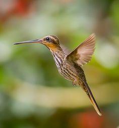 Hummingbirds in the Americas: Hummingbird-Brindle