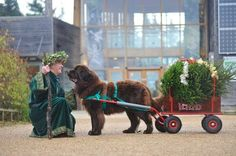 The gorgeous Newfoundland dogs will be helping visitors cart their Christmas trees back to their vehicles on the weekends of 8th & 9th and 15th & 16th for a small donation to Yorkshire air ambulance or the Scarborough and Ryedale mountain rescue team. There will also be horse and carriage rides and our Green Father Christmas to spread cheer to youngsters!