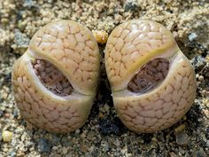Lithops 4     I CALL THESE LIVING STONES!!!  T.M.