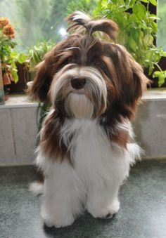 Dafne Havanese Haircuts, Havanese Grooming, Puppy Grooming, Havanese Puppies, Shih Tzu Dog, Cavapoo, Labradoodle, Baby Dogs, Pet Dogs