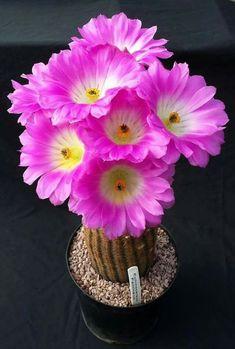 / Lot Beautiful Rare flower seeds cactus Succulent seeds kaktus lithops hybrid bonsai plants for home garden Rare Flowers, Exotic Flowers, Amazing Flowers, Cactus E Suculentas, Cactus Planta, Cacti And Succulents, Planting Succulents, Planting Flowers, Succulent Seeds