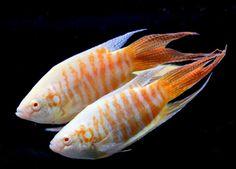70 Best Freshwater Fish Gallery Potential Aquarium List