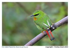 Fire-tailed Myzornis (Myzornis pyrrhoura) is a local resident in Himalayas and Bhutan. Size: 12 cm