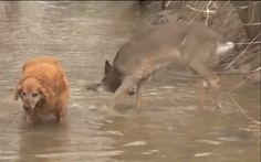 Whatever animal friendships you may have seen before, we have to say ... the reaction this deer has when she sees her best dog friend is absolutely adorable! Watch as she jumps around the water--stopping only to sniff her friend's fur.