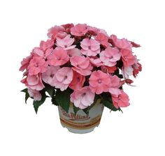AAS Winner - SunPatiens® Spreading Shell Pink!