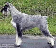 Schnauzer Breed, Giant Schnauzer, Miniature Schnauzer, Little Dogs, Big Dogs, Harlequin Great Danes, Companion Dog, New Puppy, Mans Best Friend