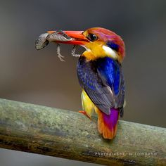 Black-backed Kingfisher (Ceyx erithaca) by 1 Rimnahm on Flickr.