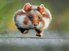 "Julian Ghahreman-Rad, Austria, Entry, Open, Nature and Wildlife, 2016 Sony World Photography Awards ""In late summer the European hamster gets ready for hibernation. He fills up his pouches with grains, roots, plants or insects and transports them into his food chamber (that's why he is running)."