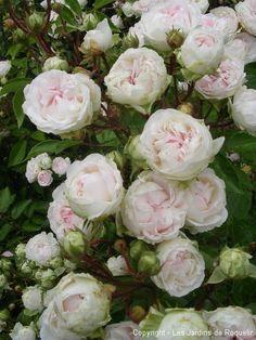 mlle-juliet-de-Bricard cabbage rose