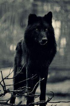 Lobo negro. Sencillamente hermoso. pic.twitter.com/g0HalyV08o
