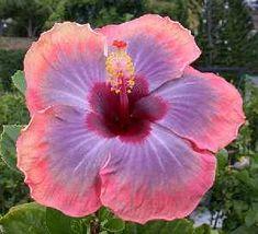 Hibiscus ~ Tahitian Violet Sun