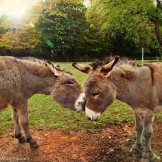 I like you The miniature donkeys are so cute.