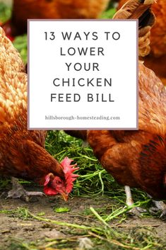 2826 Best Homestead Chickens images in 2019   Hens ...