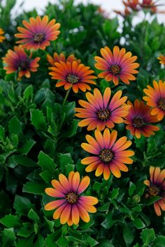 12 highlights from the RHS Chelsea Flower Show 2019 New plants from Chelsea Flower Show 2019 African Daisy Purple Sunset The post 12 highlights from the RHS Chelsea Flower Show 2019 appeared first on Diy Flowers. Beautiful Flowers Garden, Flowers Nature, Diy Flowers, Pretty Flowers, Colorful Flowers, House Beautiful, Plumeria Flowers, Bouquet Flowers, Summer Flowers