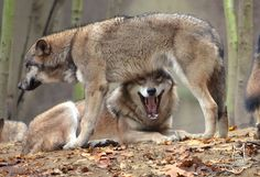 The Gray wolves - mother and son (Canis lupus, Vlk eurasijský, Status: Least Concern) from ZOO Pilsen, the Czech Republic. Wolves, Kangaroo, Husky, Deviantart, Dogs, Animals, Baby Bjorn, Animales, Animaux