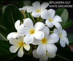 """""""Singapore White"""" Large 3.5"""" white flowers, slight yellow eye, classic frangipani fragrance. Prolific bloomer. Very glossy, dark, rounded EVERGREEN leaves. Recommended. A windmill shaped flower with blunt ends of petals.:"""
